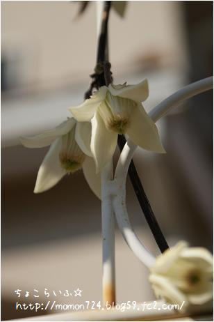 アンスンエンシスの開花