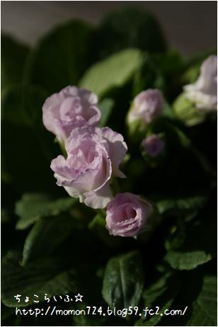 八重咲きプリムラ
