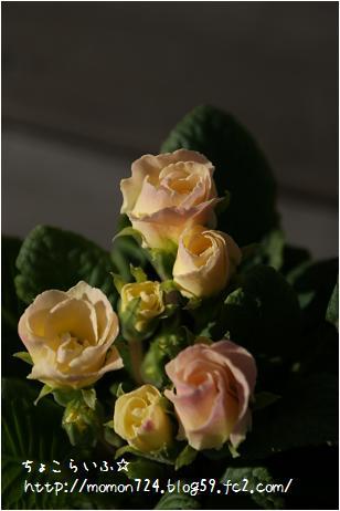 八重咲きプリムラ2