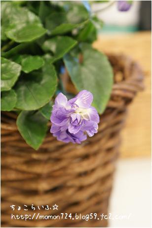 八重咲きニオイスミレ