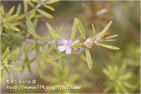 ウエストリンギアのお花