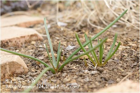 ムスカリの芽2