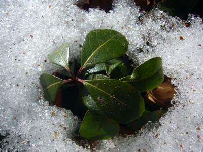 12雪と葉 400