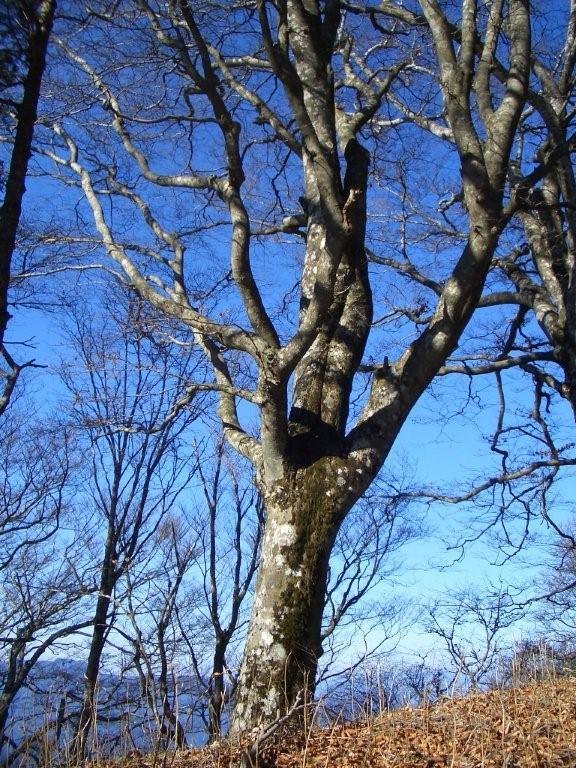 冬のブナの木