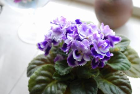 1898花紫