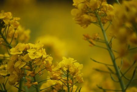 2283菜の花