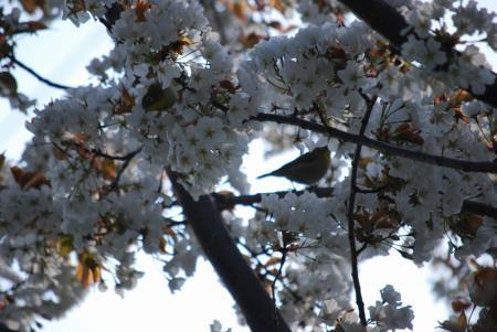 2383桜と目白