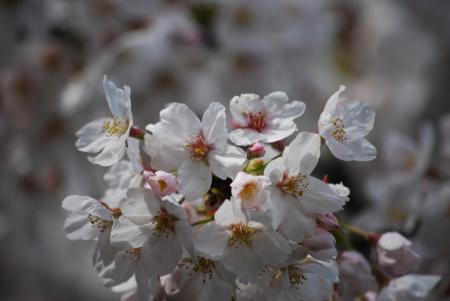 2412桜花