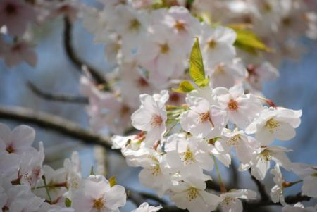 2438葉桜