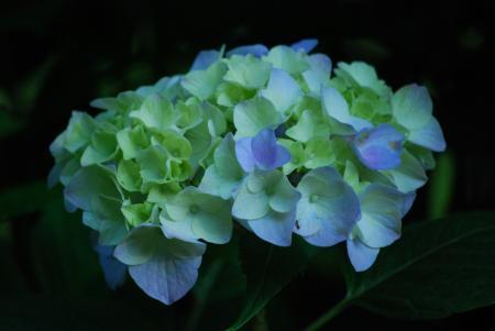 2890紫陽花