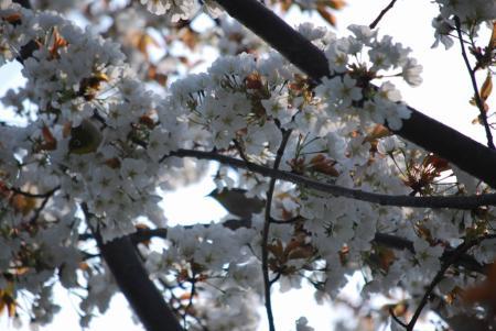 2384桜に目白