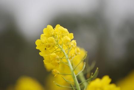 2282菜の花