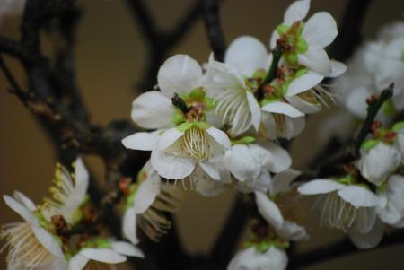 2101山桜