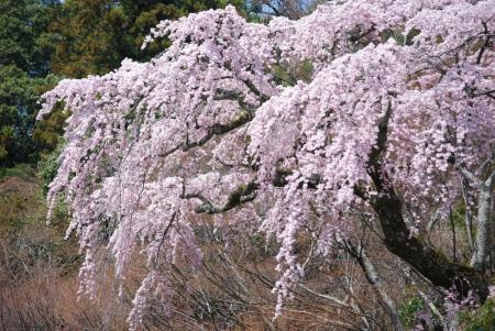 4297糸桜