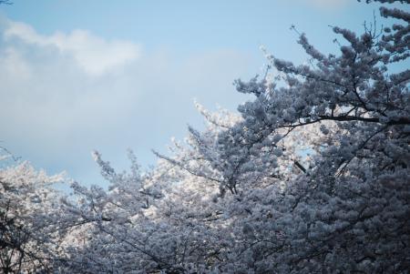 4455桜並木