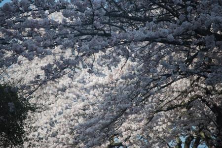 4457桜の陰陽
