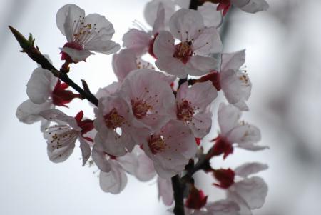 4438桜の花弁