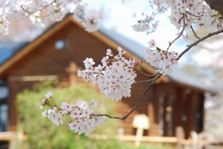 4485ログハウスと桜