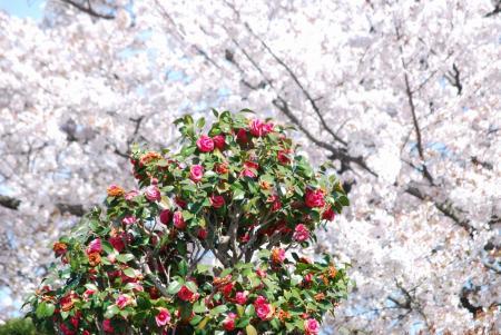 4518椿と桜