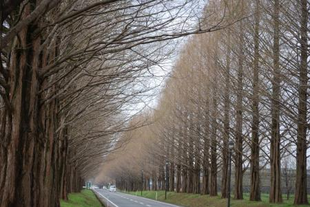4442メタセコイアの並木