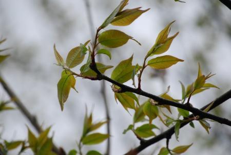 4429木の芽どき