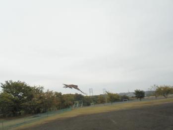 オオタカ放野3-1