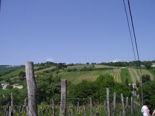 ブドウ畑。