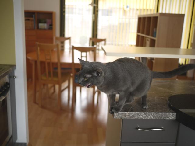 ヒトのゴハンを狙うネコ。