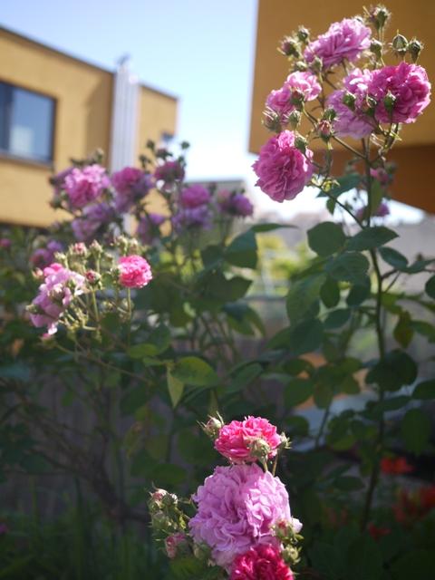 バラ。いっぱい咲いた。