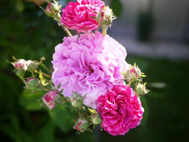 バラ。鮮やかな色。