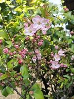 うちの近くの恐らく御殿場桜