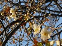 うちのベランダの前の桜