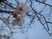 大濠公園お堀端の桜