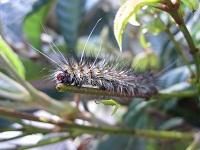 若い茎の上に留まる毛虫