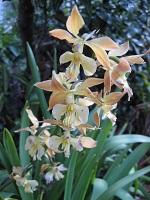エビネ蘭の花