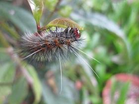 若芽を食べる毛虫