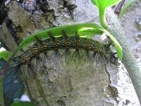 葉っぱの裏に隠れる毛虫