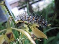 エビネの花を食らう毛虫