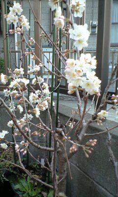 100315桜
