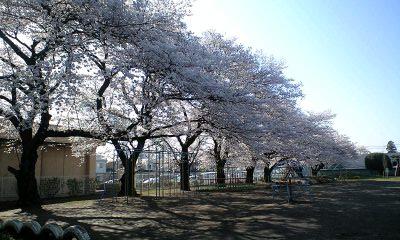 100408学校の桜