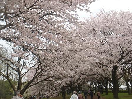 DSC02212智光山道桜○