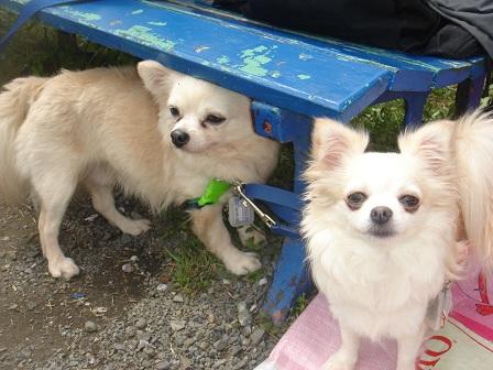 DSC02228智光山シート犬2匹アップ○