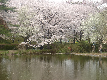 DSC02270智光山対岸の桜2○