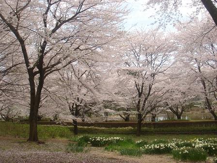DSC02274智光山スイレンと桜○