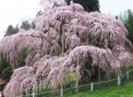 三春滝桜横