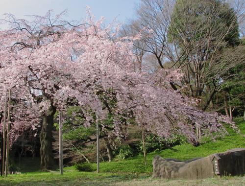 後楽園の枝垂桜1