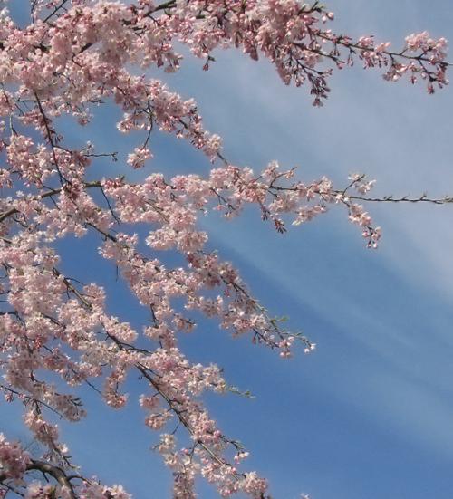 後楽園の枝垂桜3