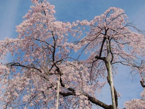 後楽園の枝垂桜6