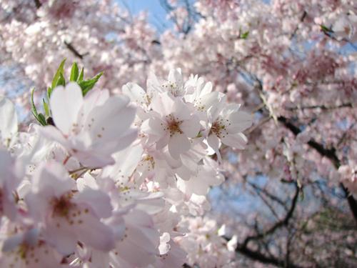 後楽園の枝垂桜7
