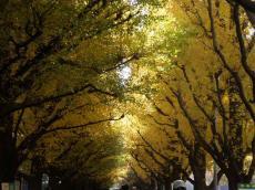 神宮銀杏並木ー3